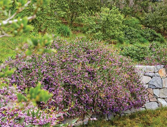 The hillside near the entry is restored with native species including Ceanothus, Black Oak and Western Redbud. Grey Lichen Fieldstone walls, softened with winter-blooming Hardenbergia, surround the guest parking area, which is planted with native California Fescue over a geogrid.