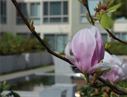 View of court B magnolia x soulaneana displaying typical later winter bloom oon bare branches, with water feature in background.