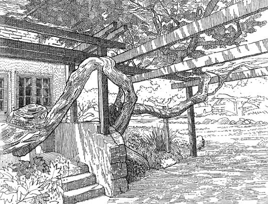 Hand-sketch of the carport pergola that weaves around a bracelet honey-myrtle (Melaleuca armillaris).