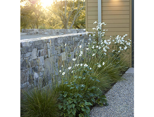 Pennisetum spathiolatum and Anemone j. 'Honorine Jobert' catch the late afternoon sun outside the exercise room.