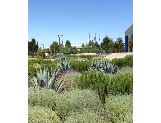 The dining courtyard, informally planted with aromatic herbs, including lavender, rosemary and salvia, and punctuated with Agave americana. Seating pods can be seen in the background, with all plants being a combination of either blues or purples.